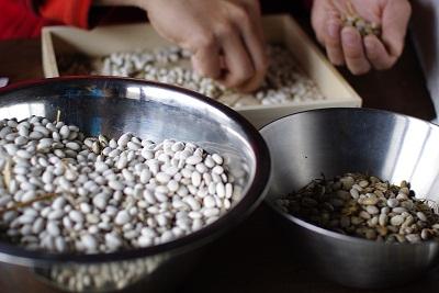 銀手亡(白いんげん豆)の選別_c0110869_21144690.jpg