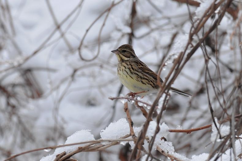 雪と鳥さん6種_f0053272_2148173.jpg
