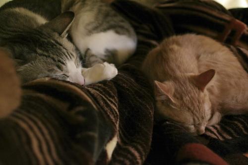 毛布の上で丸くなるお坊ちゃんと櫂っち