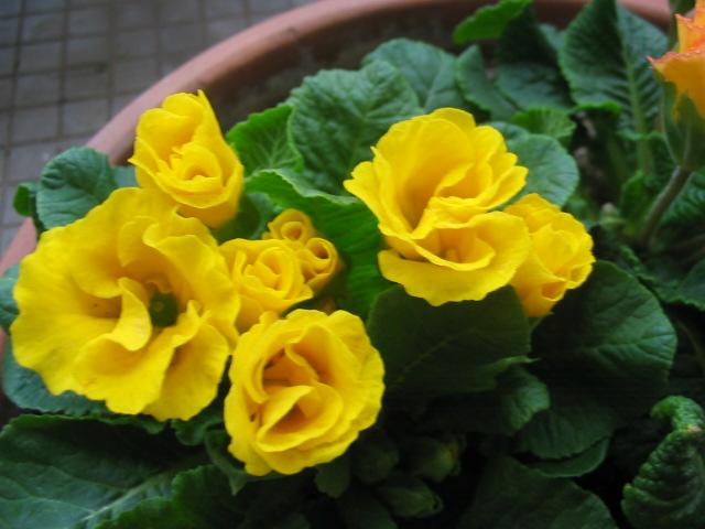 バラ咲きプリムラ _a0091095_1651175.jpg