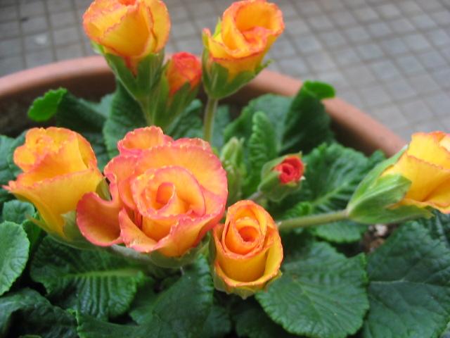 バラ咲きプリムラ _a0091095_1652433.jpg