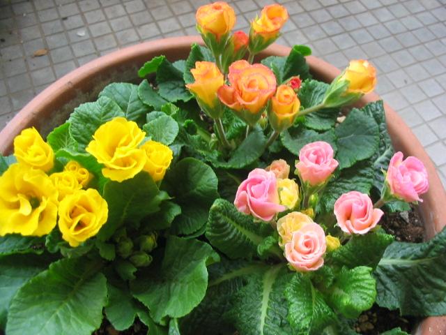 バラ咲きプリムラ _a0091095_16543337.jpg
