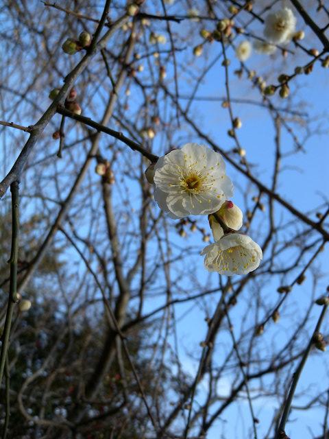 水元公園で見た花 その3(梅)_e0089232_133835100.jpg
