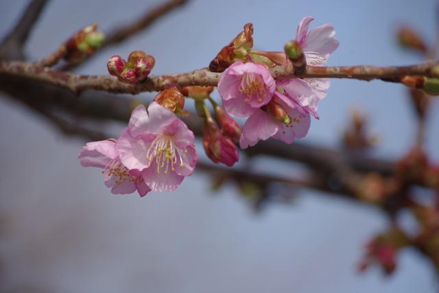 河津桜_d0147812_14391751.jpg