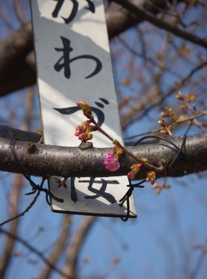 河津桜_d0147812_1440311.jpg