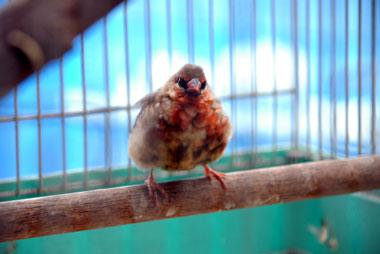 紅雀を飼っています。_b0174462_21465026.jpg