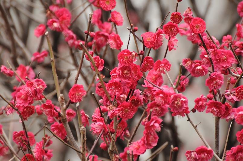 梅の花@ご近所_d0056382_1001129.jpg