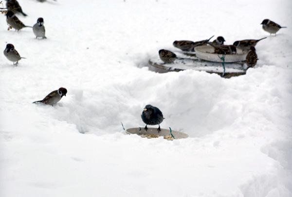 餌台が雪に埋まった日^^;_a0136293_17113949.jpg