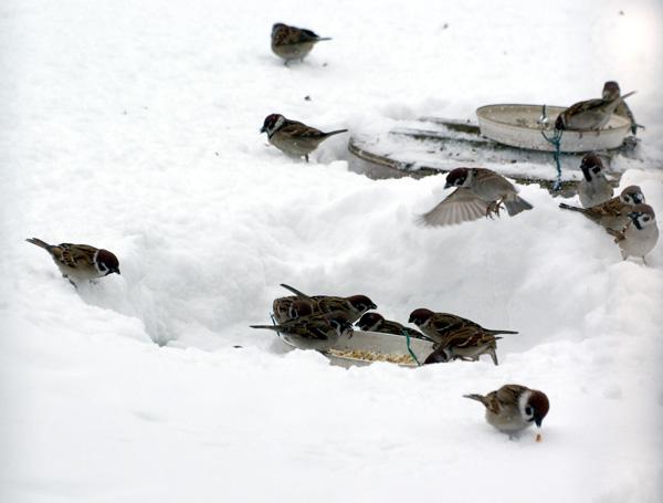 餌台が雪に埋まった日^^;_a0136293_17123386.jpg