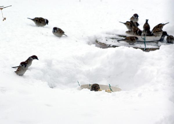 餌台が雪に埋まった日^^;_a0136293_1712561.jpg