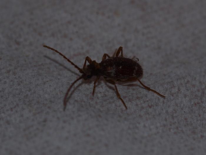 ナガヒョウホンムシ 雌♀_c0116915_22215241.jpg