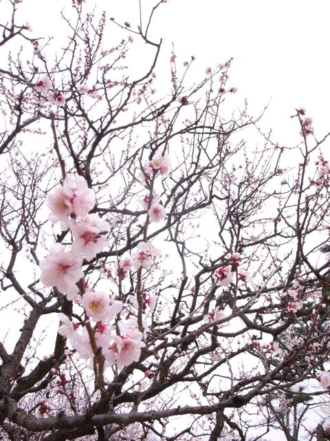 春節 / 梅_a0157885_1443572.jpg