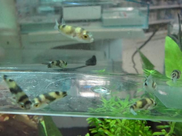 熱帯魚・金魚・水草_f0189122_13115950.jpg