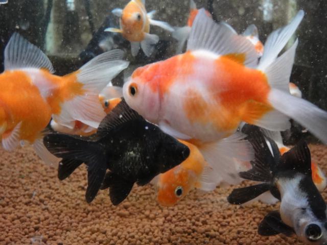 熱帯魚・金魚・水草_f0189122_19262015.jpg