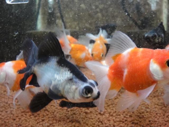 熱帯魚・金魚・水草_f0189122_19263590.jpg