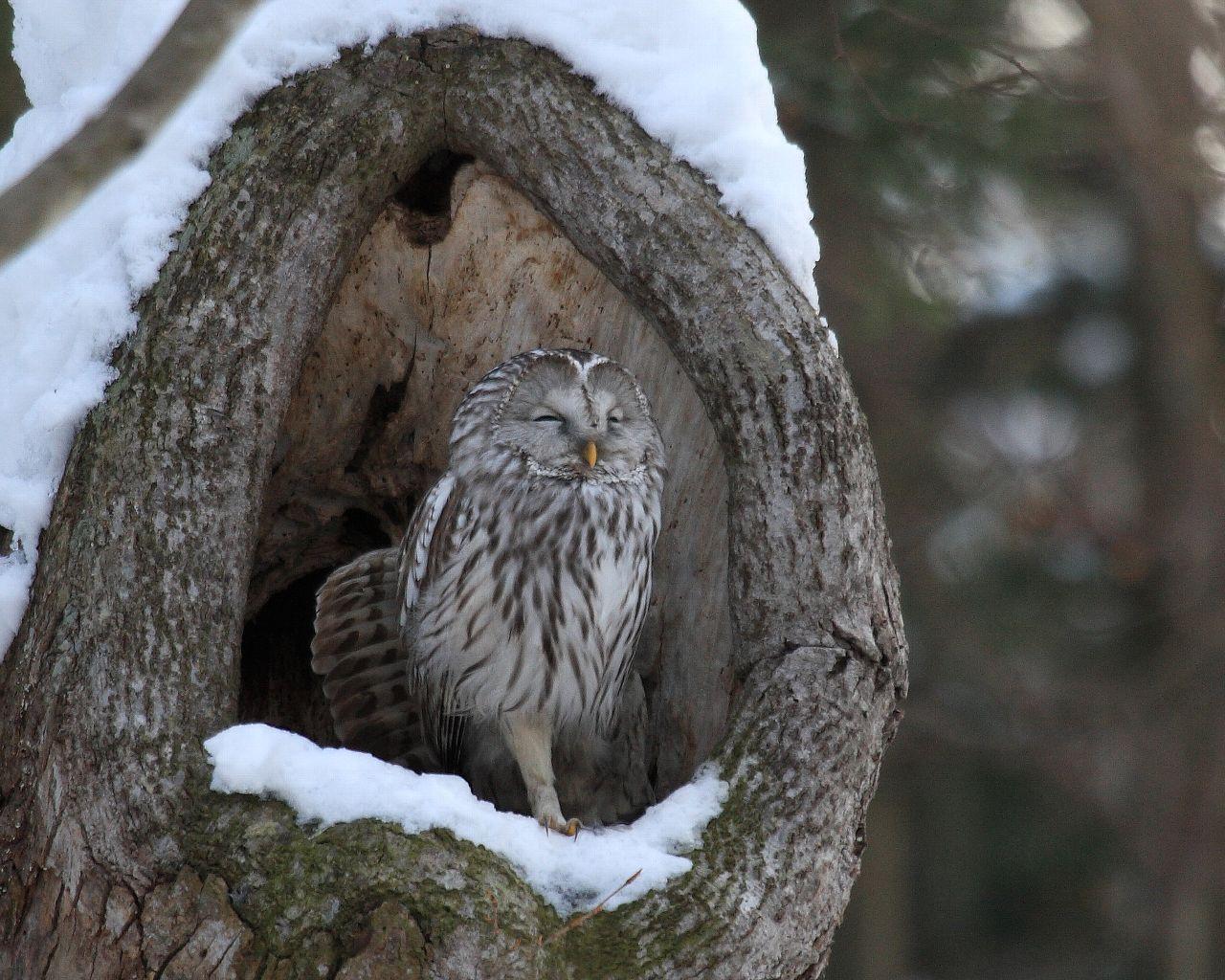 雪の中のエゾフクロウ_f0105570_2331463.jpg