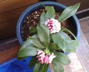 沈丁花はすでに香りはじめ_f0101128_6464636.jpg