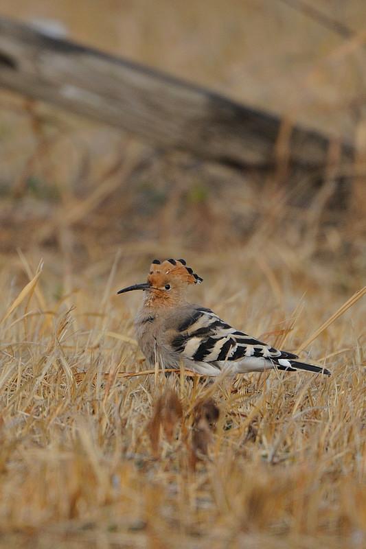 少し珍しい野鳥(渡り途中のヤツガシラ、漁港のワシカモメとアカエリカイツブリ)_d0099854_214767.jpg