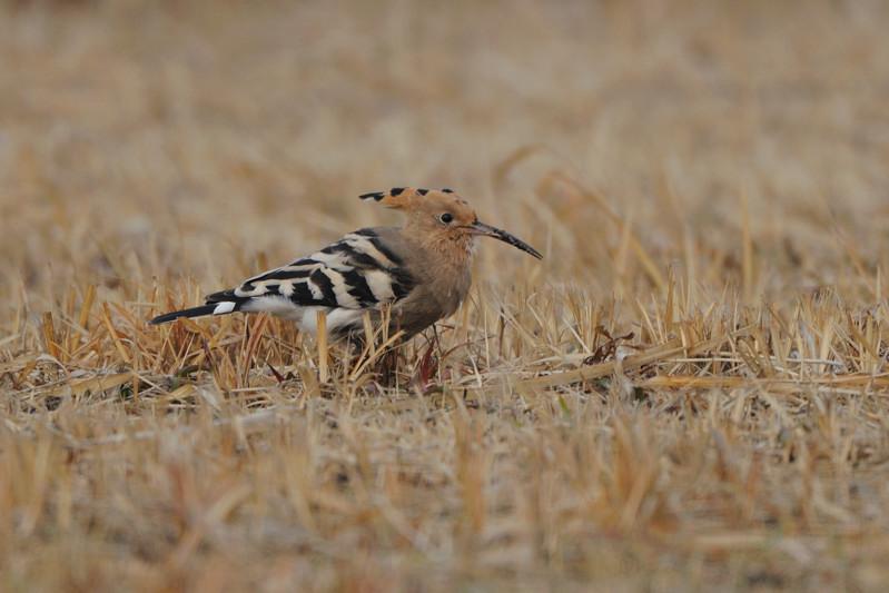 少し珍しい野鳥(渡り途中のヤツガシラ、漁港のワシカモメとアカエリカイツブリ)_d0099854_21513822.jpg
