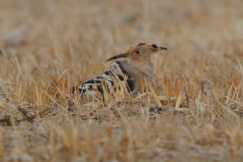 少し珍しい野鳥(渡り途中のヤツガシラ、漁港のワシカモメとアカエリカイツブリ)_d0099854_2152217.jpg