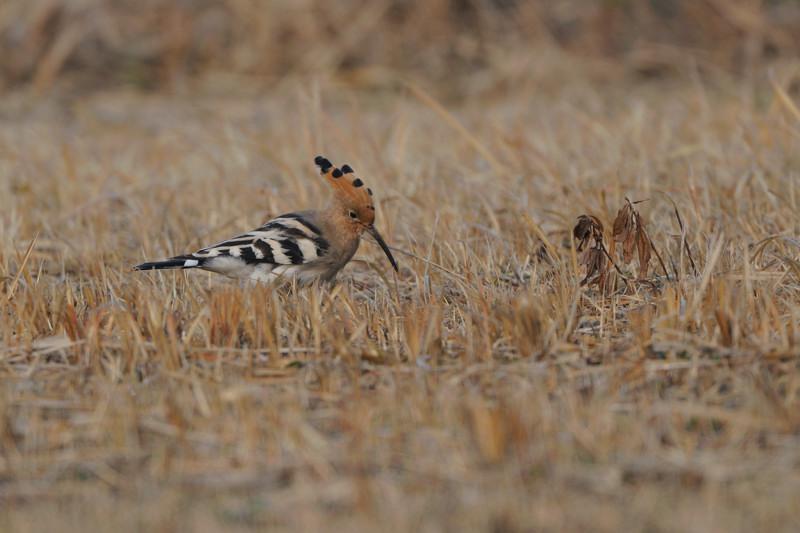 少し珍しい野鳥(渡り途中のヤツガシラ、漁港のワシカモメとアカエリカイツブリ)_d0099854_21532076.jpg