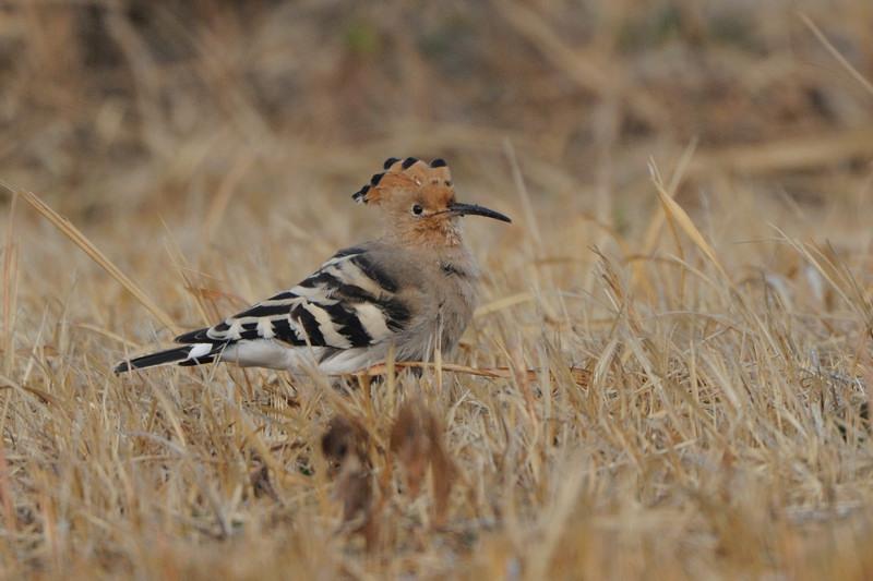 少し珍しい野鳥(渡り途中のヤツガシラ、漁港のワシカモメとアカエリカイツブリ)_d0099854_21552462.jpg