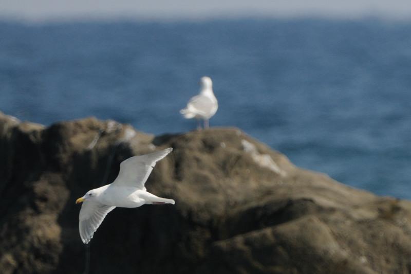 少し珍しい野鳥(渡り途中のヤツガシラ、漁港のワシカモメとアカエリカイツブリ)_d0099854_22105044.jpg