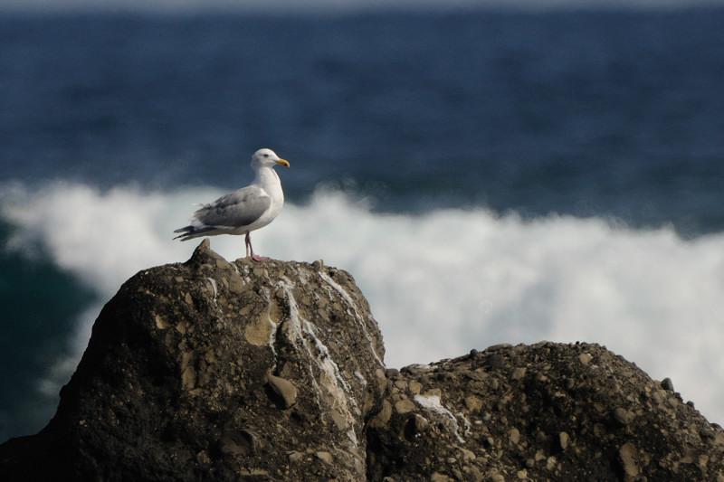 少し珍しい野鳥(渡り途中のヤツガシラ、漁港のワシカモメとアカエリカイツブリ)_d0099854_2212926.jpg
