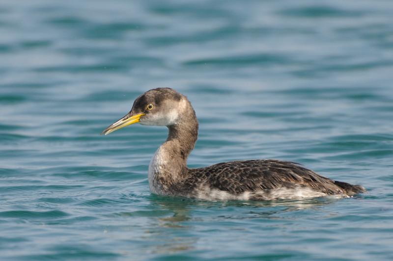 少し珍しい野鳥(渡り途中のヤツガシラ、漁港のワシカモメとアカエリカイツブリ)_d0099854_22171418.jpg