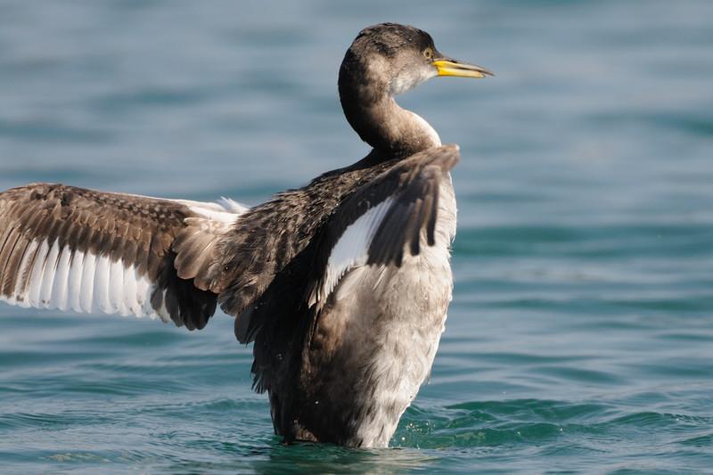 少し珍しい野鳥(渡り途中のヤツガシラ、漁港のワシカモメとアカエリカイツブリ)_d0099854_22183559.jpg