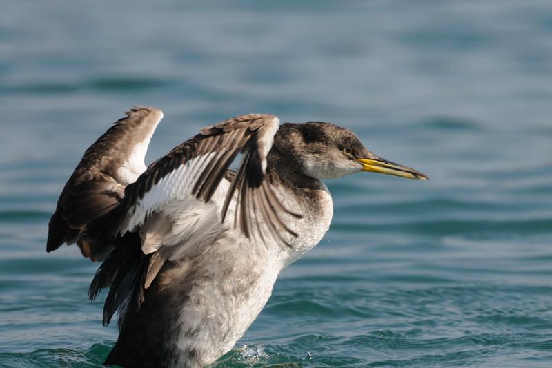 少し珍しい野鳥(渡り途中のヤツガシラ、漁港のワシカモメとアカエリカイツブリ)_d0099854_22194138.jpg