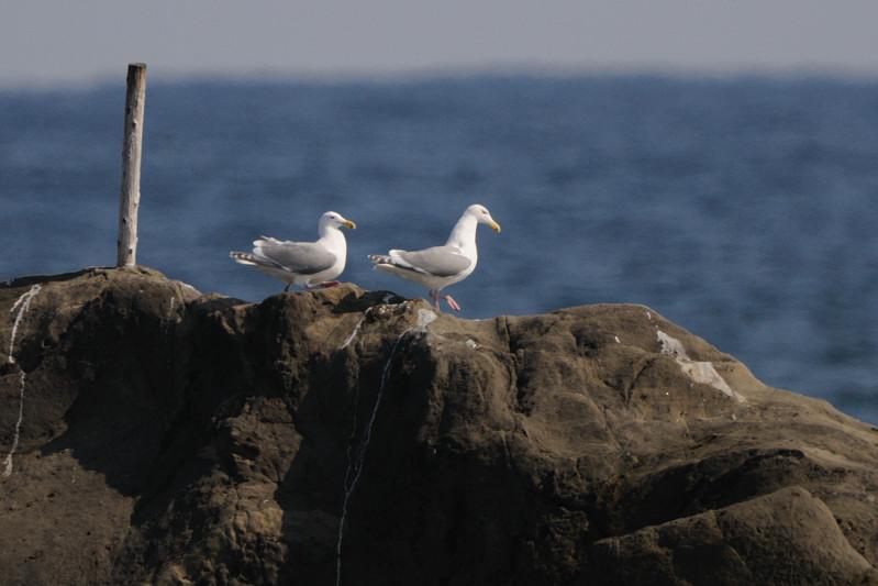 少し珍しい野鳥(渡り途中のヤツガシラ、漁港のワシカモメとアカエリカイツブリ)_d0099854_223594.jpg
