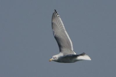 少し珍しい野鳥(渡り途中のヤツガシラ、漁港のワシカモメとアカエリカイツブリ)_d0099854_2273982.jpg