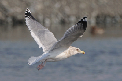 少し珍しい野鳥(渡り途中のヤツガシラ、漁港のワシカモメとアカエリカイツブリ)_d0099854_22857100.jpg
