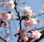 「初桜(ういざくら)」の物語~思いがけない出来事の感動~俄の婚約指輪のエピソード_f0118568_22364579.jpg