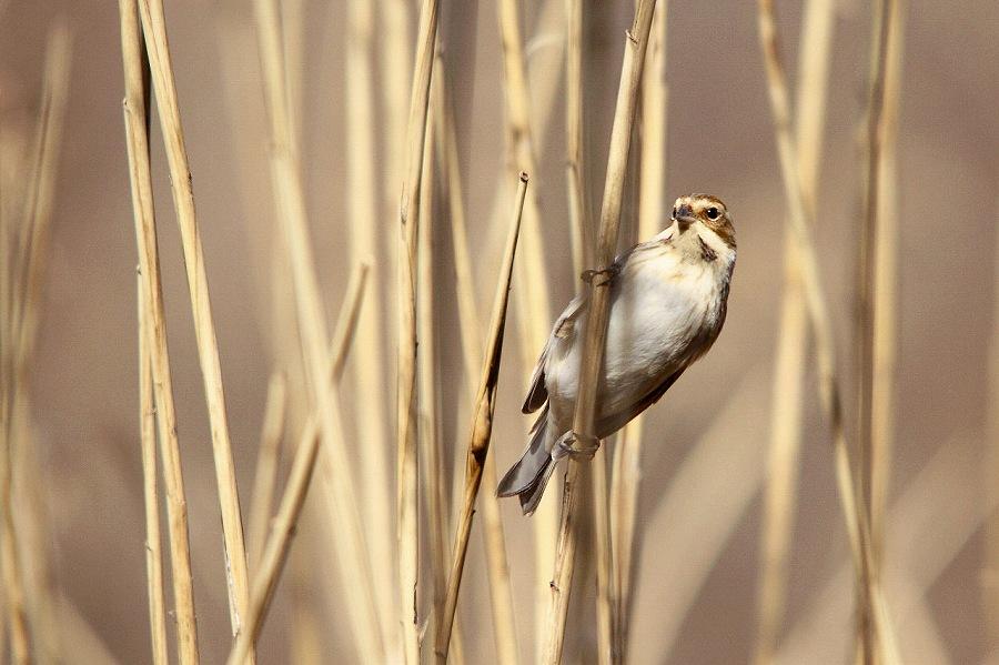 葦原の野鳥を撮る。_a0021270_23423647.jpg