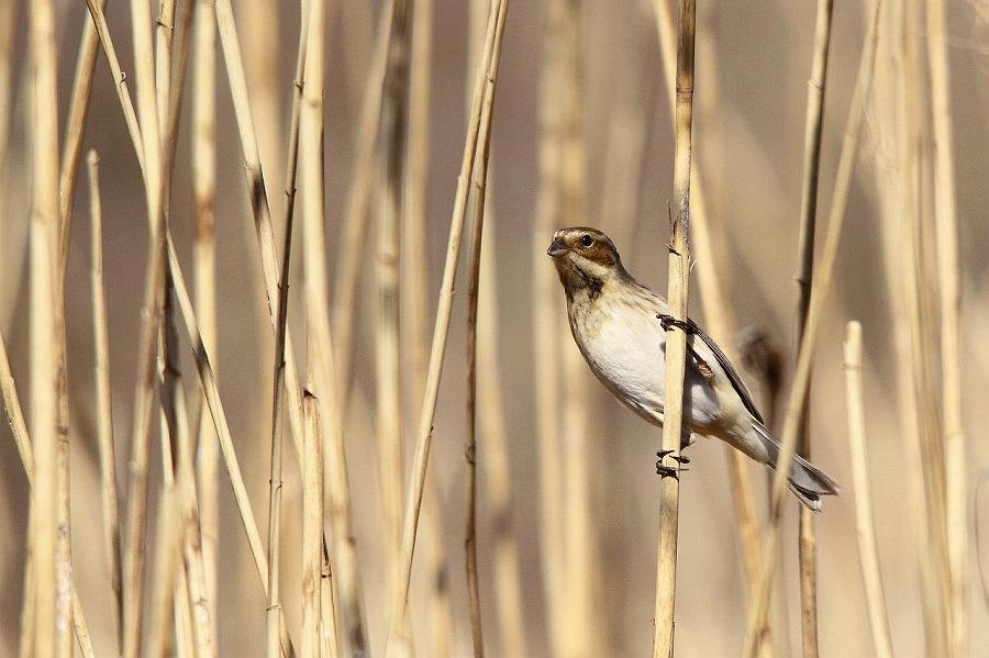 葦原の野鳥を撮る。_a0021270_23425847.jpg