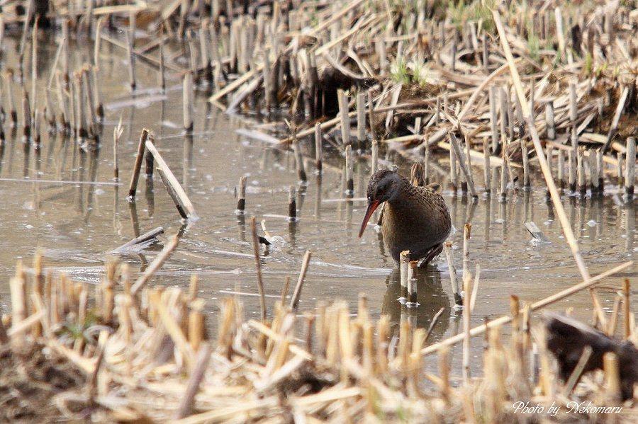 葦原の野鳥を撮る。_a0021270_23432456.jpg