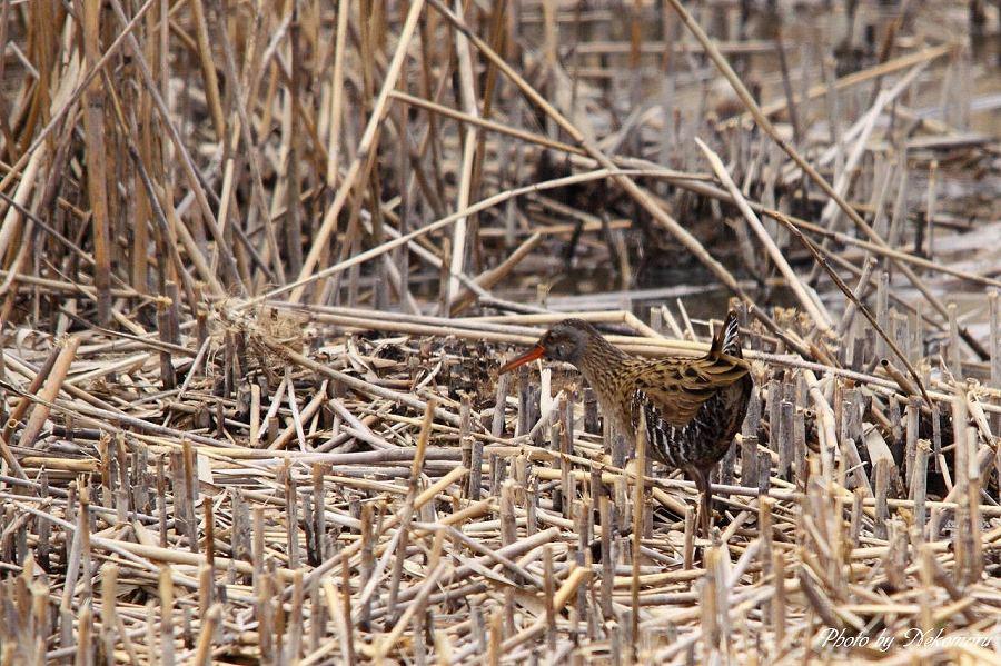 葦原の野鳥を撮る。_a0021270_23451523.jpg