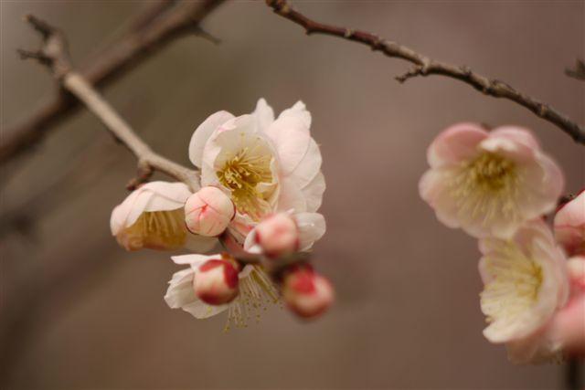 『思いのまま』と言う愛らしい名の梅の花♪♪♪_b0175688_22133218.jpg