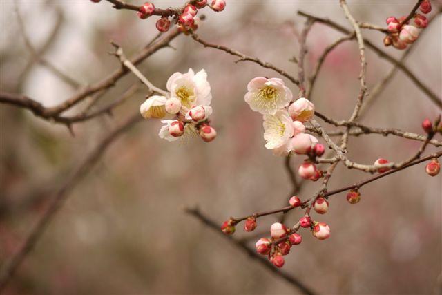 『思いのまま』と言う愛らしい名の梅の花♪♪♪_b0175688_2213423.jpg