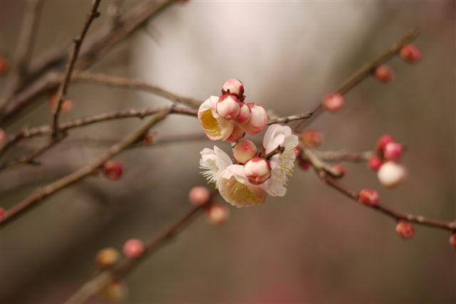 『思いのまま』と言う愛らしい名の梅の花♪♪♪_b0175688_22135227.jpg
