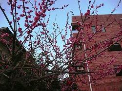 梅の花_c0087349_8481392.jpg