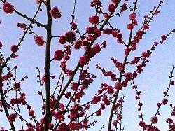 梅の花_c0087349_8482916.jpg