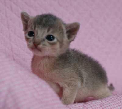 アビシニアン 3週目 子猫ちゃん家族募集 よしこちゃん子_e0033609_1843457.jpg