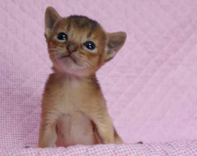 アビシニアン 3週目 子猫ちゃん家族募集 よしこちゃん子_e0033609_1872829.jpg