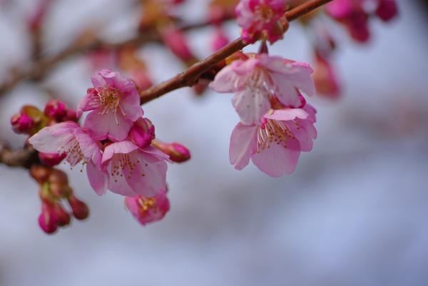 河津桜_d0147812_1671937.jpg