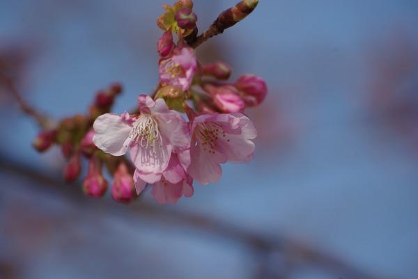 河津桜_d0147812_1675018.jpg