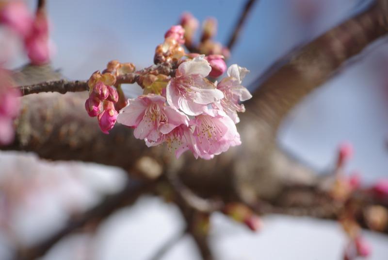 河津桜_d0147812_18355219.jpg