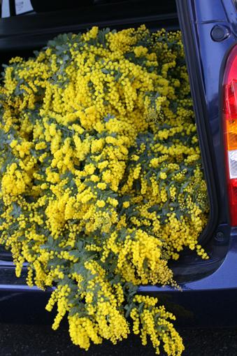 春の香り ミモザ*_f0127281_053961.jpg